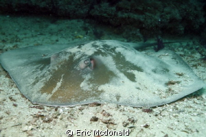 STINGRAY was aggreeable to let me take his photo for awhile by Eric Mcdonald 